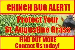 Chinch bugs alert